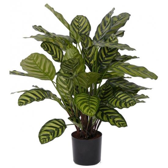 Calathea plant met 52 bladeren